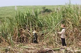 Xin ý kiến liên kết trồng mía nguyên liệu của Tỉnh Đoàn Đắk Lắk