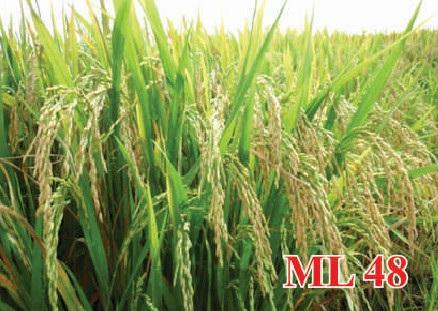 Phê duyệt giá mua giống cây trồng để hỗ trợ khôi phục sản xuất do hạn hán gây ra năm 2016