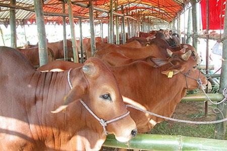 Công bố hết dịch Lở mồm long móng gia súc trên địa bàn tỉnh Đắk Lắk