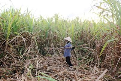 Thực hiện Dự án liên kết đầu tư trồng mía nguyên liệu tại biên giới xã Ia Lốp, huyện Ea Súp.