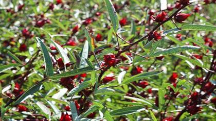 Cho phép thực hiện dự án khoa học và công nghệ Sản xuất thử nghiệm cây Hồng hoa tại huyện Lắk và huyện Buôn Đôn
