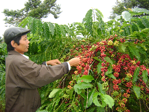 Ban hành Kế hoạch triển khai thực hiện Đề án tái cơ cấu ngành nông nghiệp theo hướng nâng cao giá trị gia tăng và phát triển bền vững tỉnh Đắk Lắk giai đoạn 2016-2020