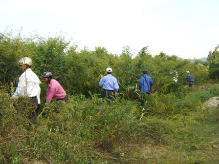 Triển khai thực hiện Đề án ngăn ngừa và kiểm soát cây Mai dương xâm hại trên địa bàn tỉnh Đắk Lắk giai đoạn 2017-2020.