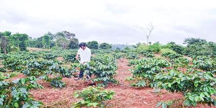 Điều chỉnh, bổ sung Kế hoạch tái canh cà phê giai đoạn 2017- 2020