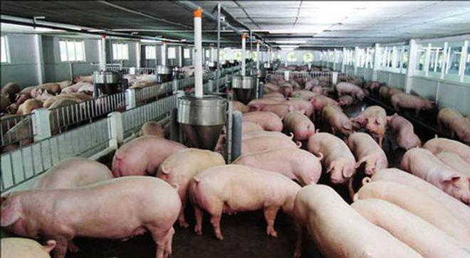 Triển khai biện pháp thúc đẩy xuất khẩu thịt lợn.