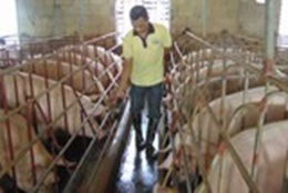 Gia hạn nợ cho khách hàng vay vốn chăn nuôi lợn