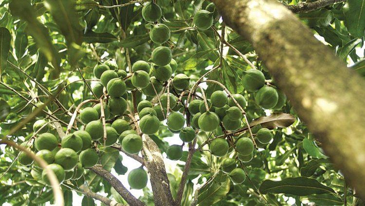 Đánh giá thực trạng và khả năng phát triển cây Mắc ca trên địa bàn tỉnh.