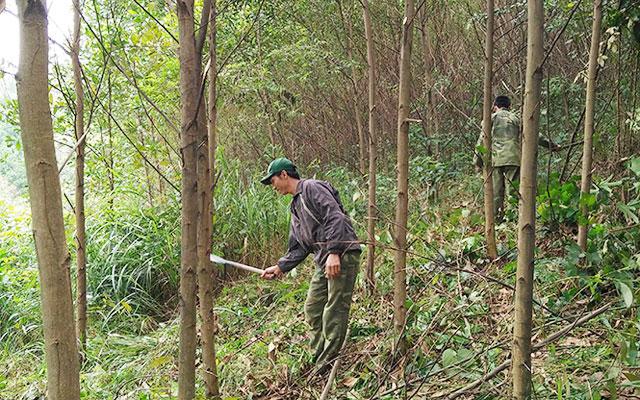 Lập Đề án tỉa thưa cây phụ trợ rừng trồng đặc dụng của Ban QLDA Khu bảo tồn thiên nhiên Ea Sô