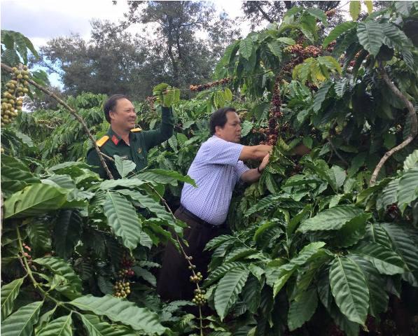 Huyện Cư M'gar đẩy mạnh phát triển càfê bền vững