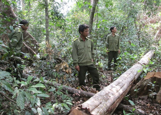 Thu hồi tiền khai thác rừng trồng sản xuất đã nhận hỗ trợ từ nguồn vốn của Dự án FLITCH.