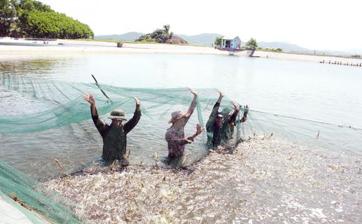 Tăng cường quản lý nuôi tôm thẻ chân trắng trong vùng nước ngọt