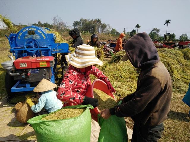 Huyện Cư M'gar vụ lúa Đông Xuân được mùa được giá